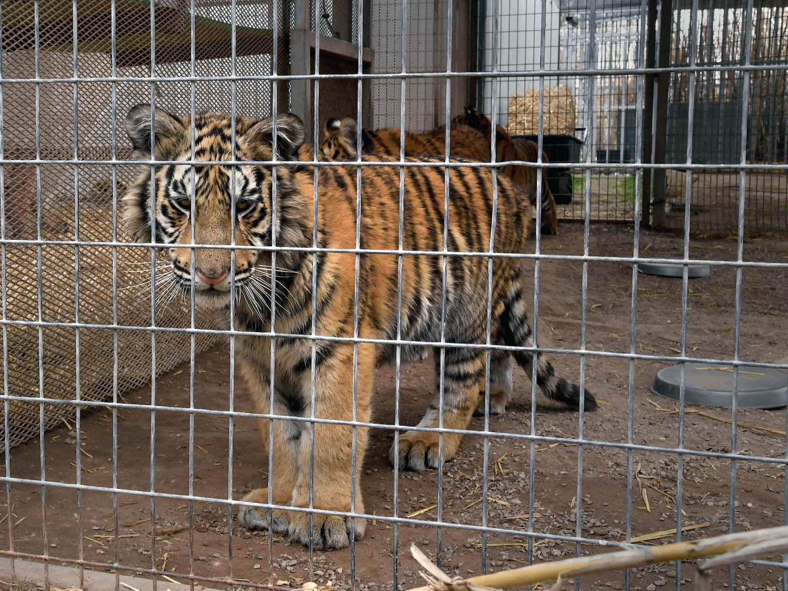 Here's why Joe Exotic the 'Tiger King' was big cats' greatest enemy