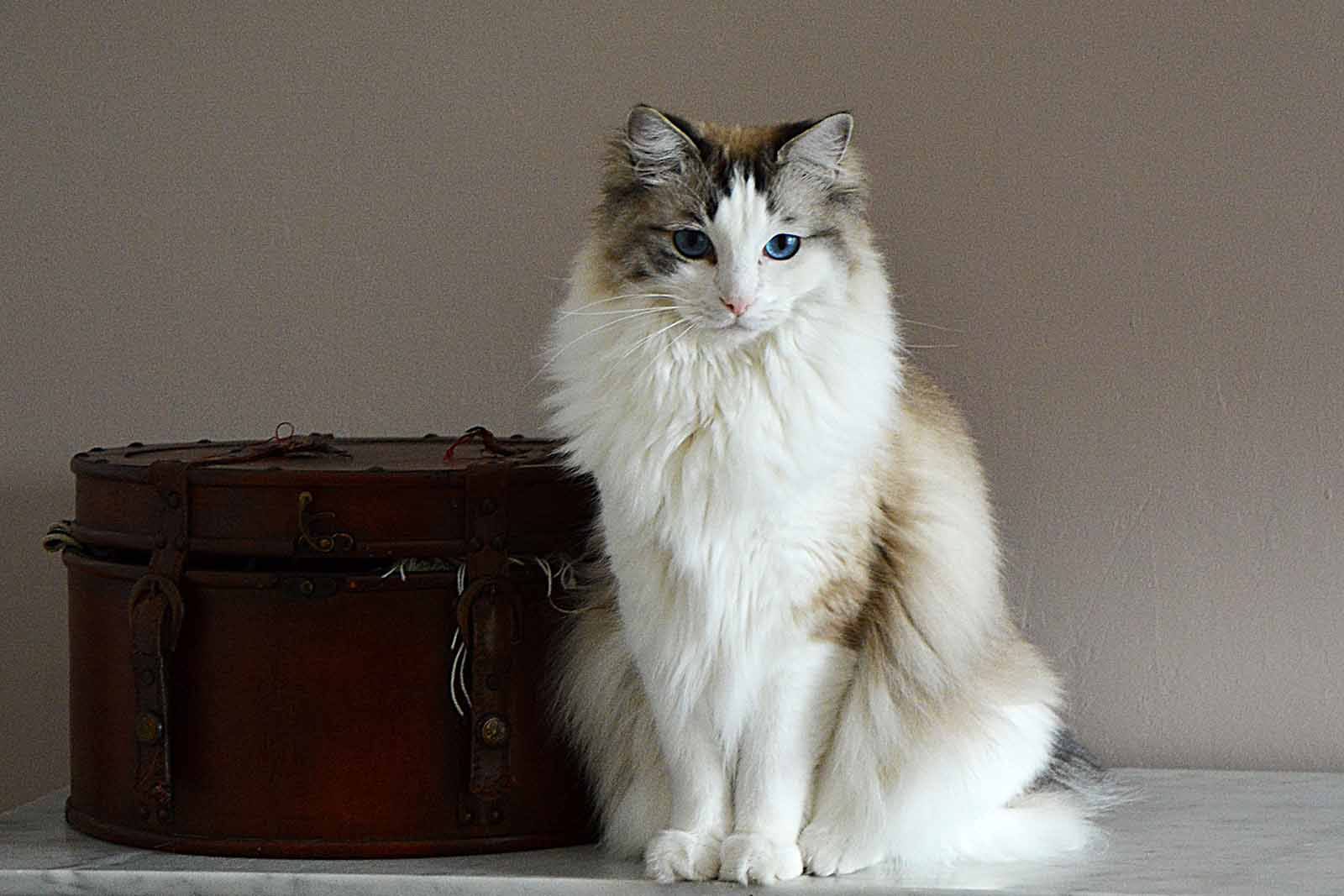You can easily name 5 dog breeds off the top of your head, but what about 5 cat breeds? These lovable large cat breeds are perfect quarantine partners.