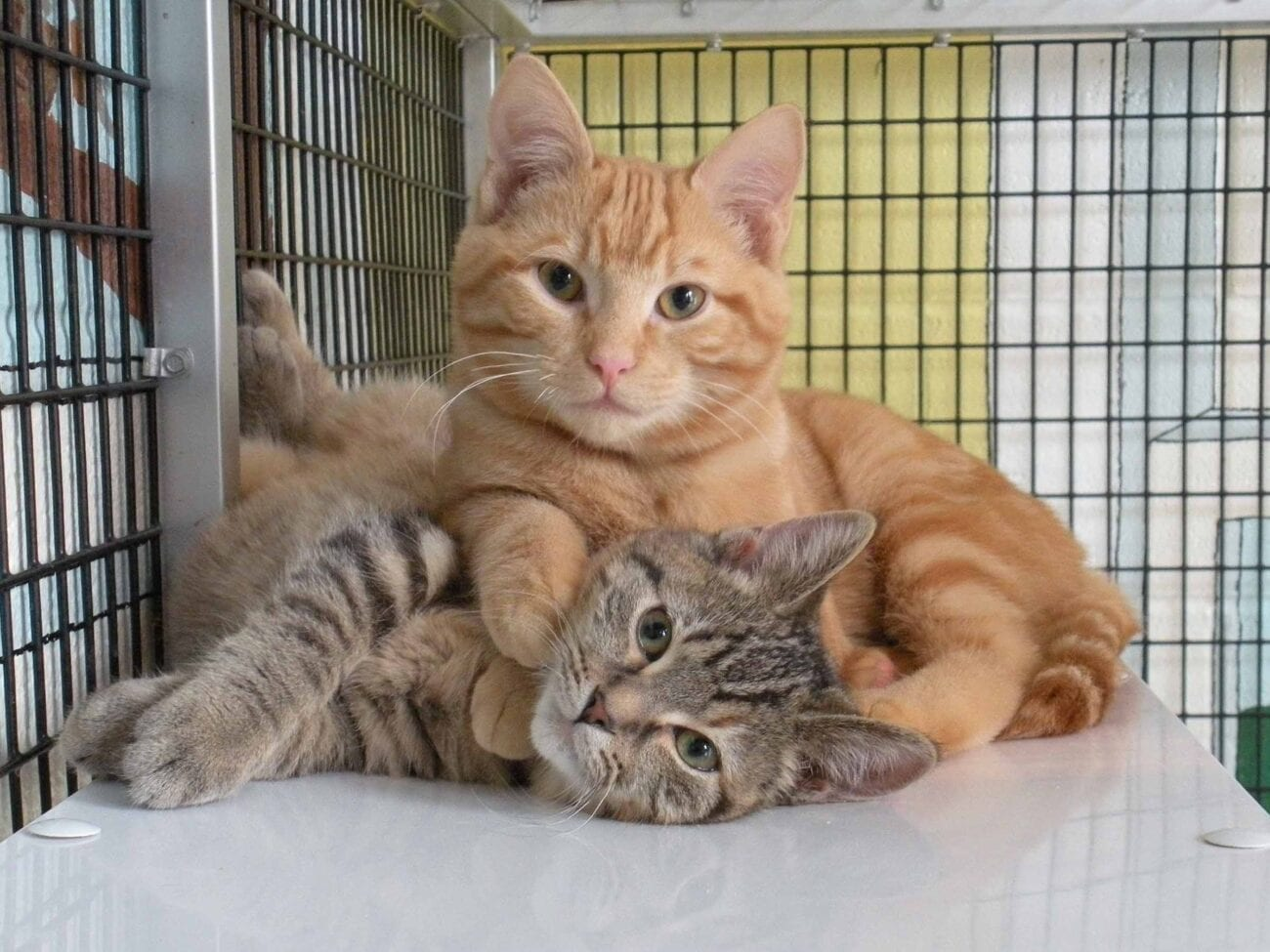 Thinking Of Quarantine Adoption All The Large Cat Breeds To Peruse Film Daily