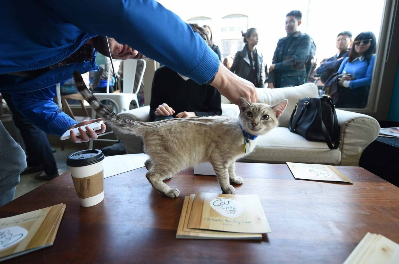 """Have you been asking the same question """"is there a cat cafe near me?"""" We recommend these gorgeous cat cafes!"""