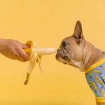 Can dogs eat bananas? They sure can. These pictures make it pretty clear that many dogs take to bananas as happily as if they were monkeys.