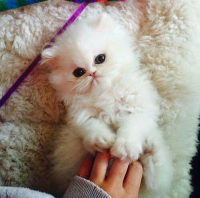 Burning Question Are Persian Kittens The Cutest Cats Ever Film Daily