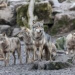 Sometimes the killing of animals is even mandated and that's the case in Canada with wolf hunting. Here's why it needs to end!