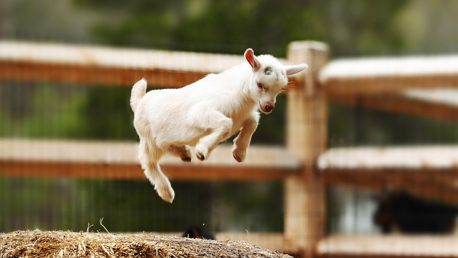 Make Your Day Better By Watching These Funny Goat Videos Film Daily
