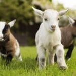 Goat videos make everyone happy! Check out these funny, heartwarming, and downright cute goats right now. They will make you smile!