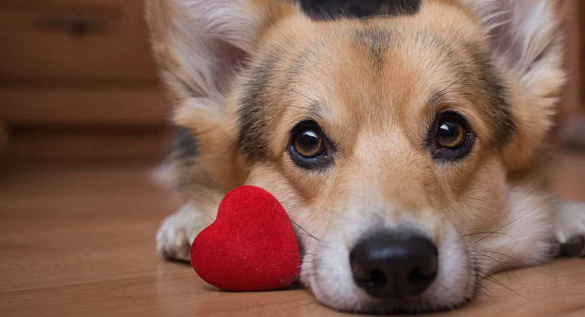 """Let's face it, quarantine is lonely, even for our dear puppies. Help your puppy find love with this """"Tinder for dogs"""" app, Pinder."""