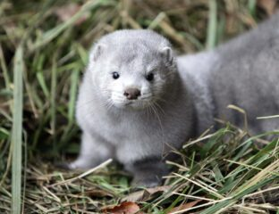 Could an adorable animal known as a mink actually be an undead zombie? Are you gasping? Let us explain.