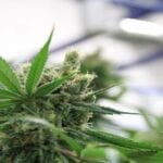 CBD Hemp Flower Golden Sour has numerous benefits. Find out what they are by clicking here.
