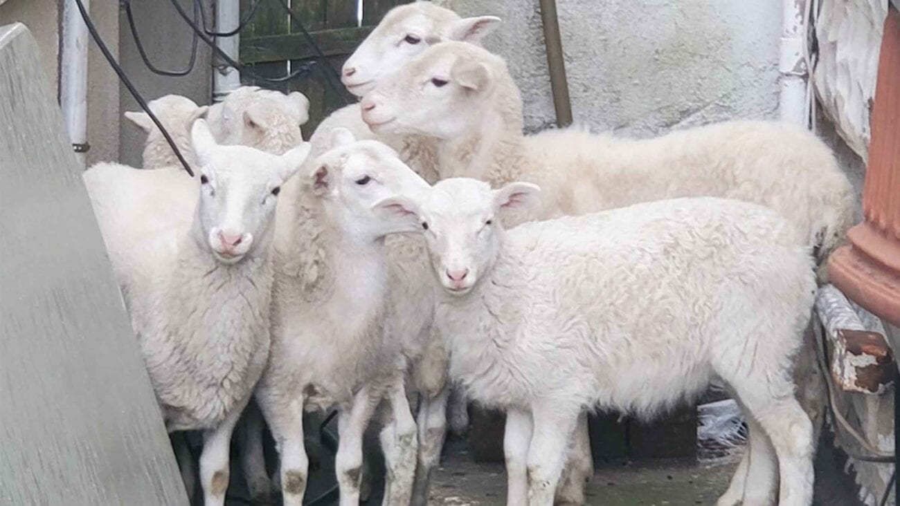 The NYD is having a BAAAA-d week. Grab your favorite furry friend and dive into the hilarious situation of the sheep herd lost in Brooklyn.