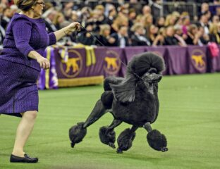 145th Annual Westminster Kennel Club Dog Show will take place this weekend. Watch the dog show live here.
