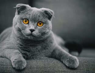 Have you ever heard of the Scottish Fold Munchkin cat? So, what's going on with this guy? Grab your nearest furry friend and let's find out!