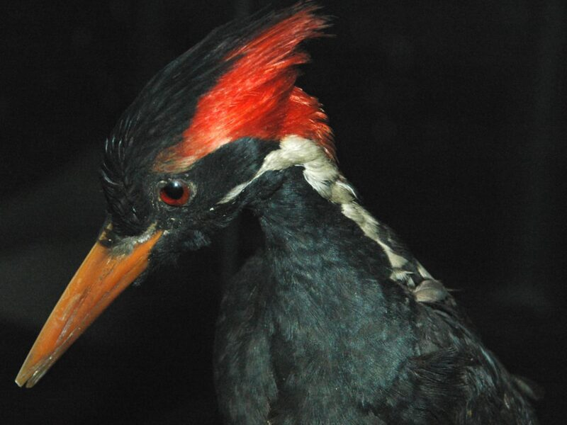 Officials announce that 23 species will soon be extinct, including the ivory-billed woodpecker. See how global warming affects Earth's biodiversity.