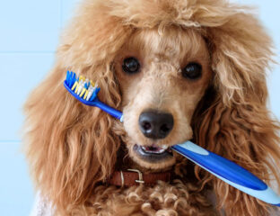 Stinky dog breath isn't the only reason to brush Fido's pearly whites! Dental care for your pooch is critical to add years to their life. Here's how!