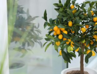 Are you looking to add something unique to your garden? Dive into the details about rare and exotic fruit trees that you can plant at home!